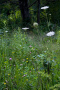 Thumbnail: Beaver Creek Valley Park - Wild Flowers - Hole in Rock Trail