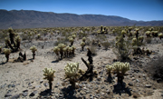 Thumbnail: Joshua Tree Highlands House - Field of cactus
